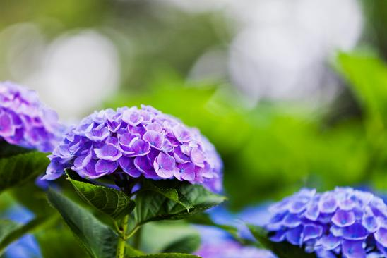 close up of purple hydrangea flower in the morning